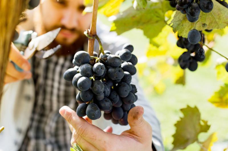 Des verres destinés à la dégustation des vins de Pinot noir